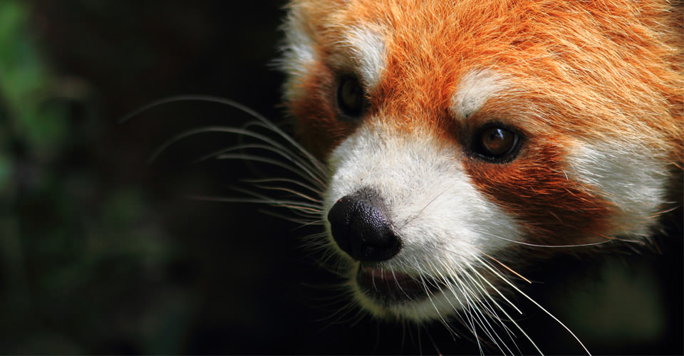 Red panda, Chengdu Research Base, China