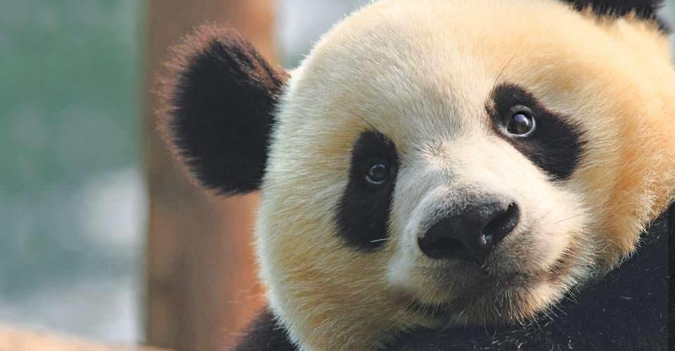 Giant panda, Dujianyan Panda Base, China