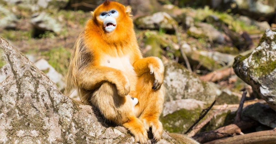 Golden snub-nosed monkey, Golden Monkey Reserve, China