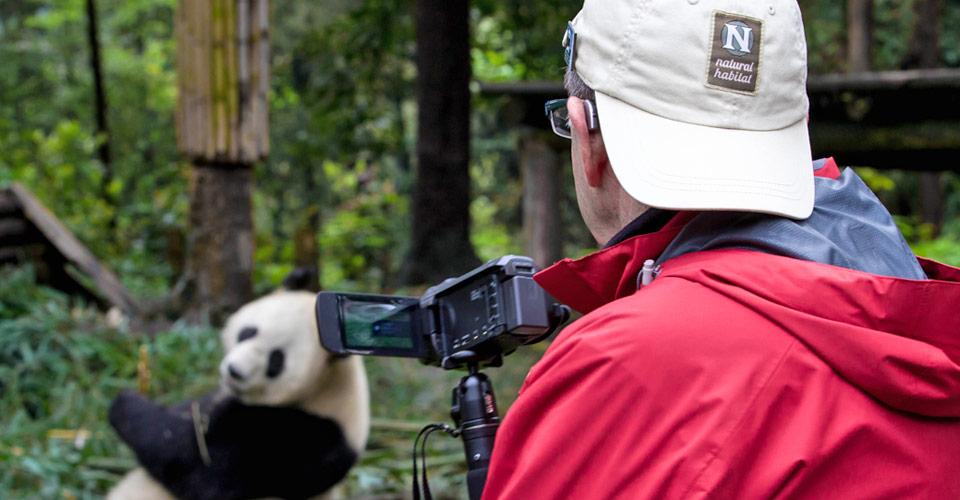Giant panda, Chengdu Research Base, China