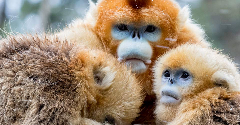 Golden snub-nosed monkeys, Golden Monkey Nature Reserve, China