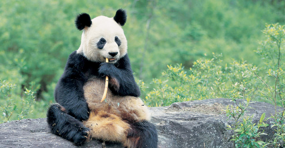 Giant panda, Bifengxia Panda Base, Ya'an, China