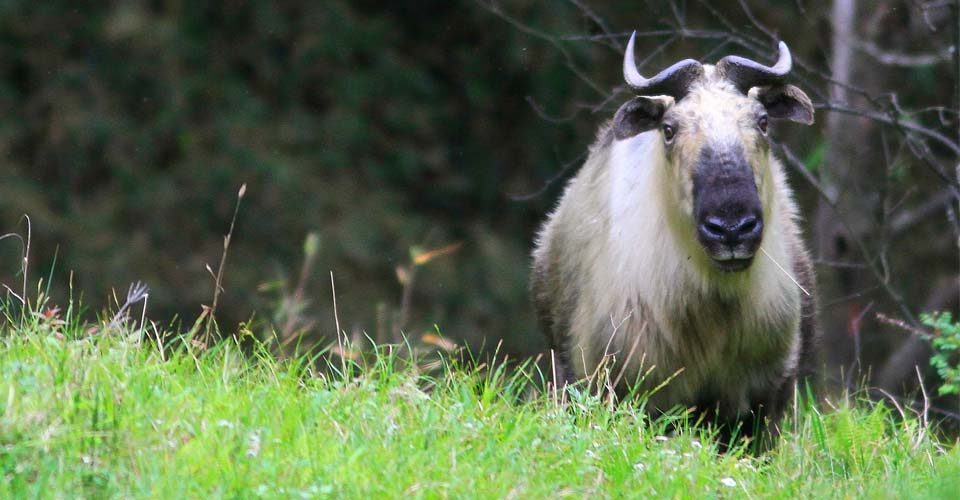 Sichuan takin, Wild Panda Nature Reserve, Minshan Mountains, China