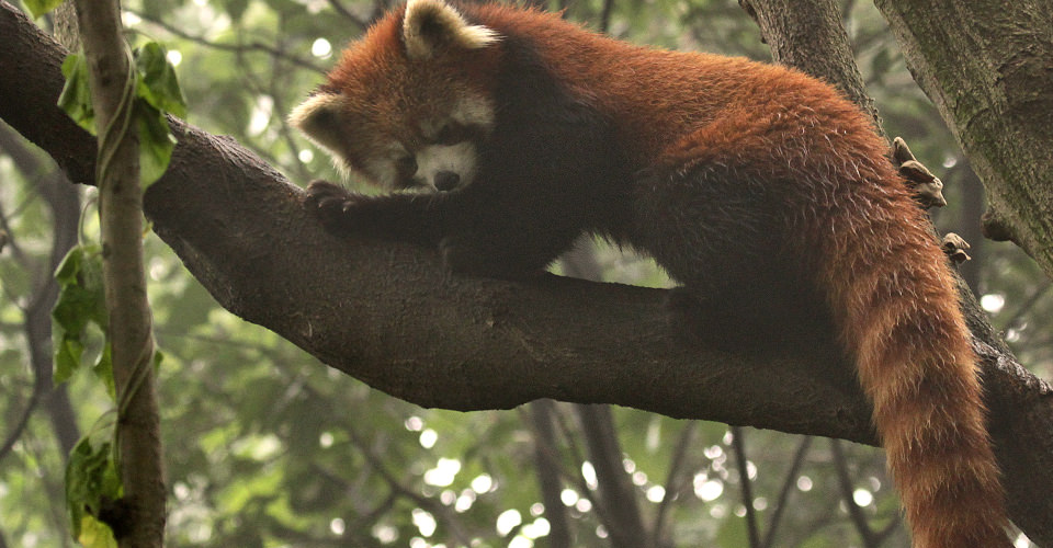 Red panda, Chengdu Panda Base, Chengdu, China