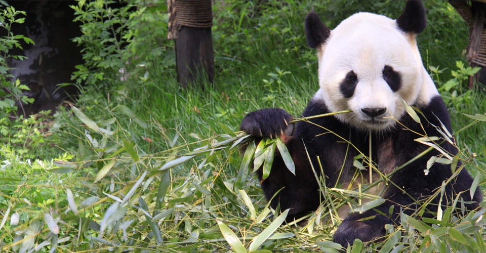 Panda Bear Tour China Adventure Travel Natural Habitat