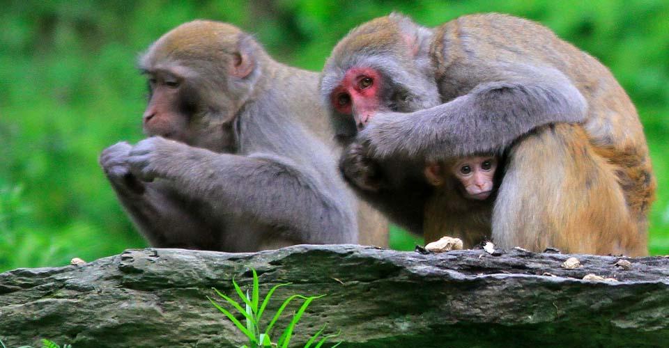 Rhesus macaques, Wild Panda Nature Reserve, China
