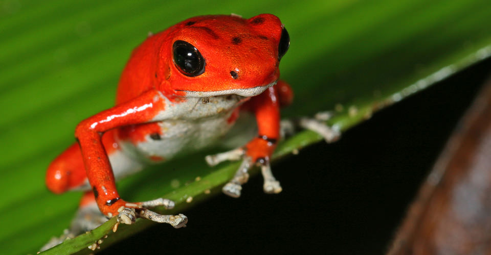 Poison red dart frog, Chiriqui Highlands, Panama