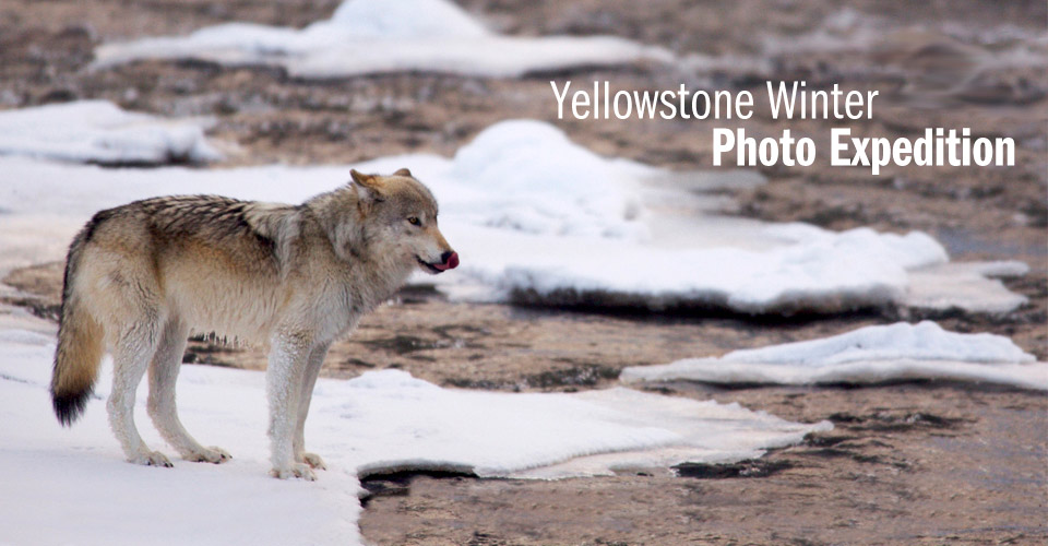 Wolf, Yellowstone National Park, Wyoming, USA