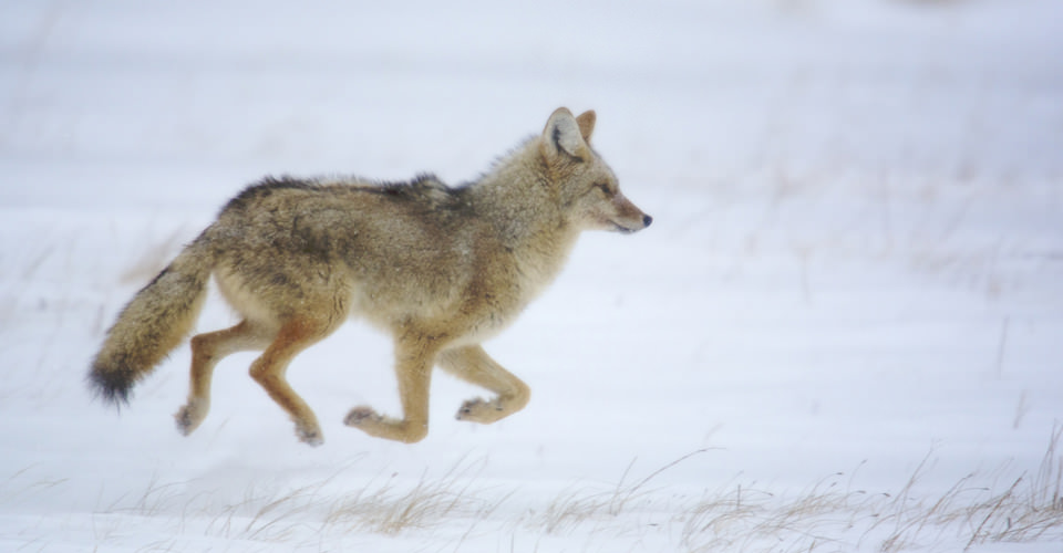 Coyote, Yellowstone National Park, Wyoming, USA