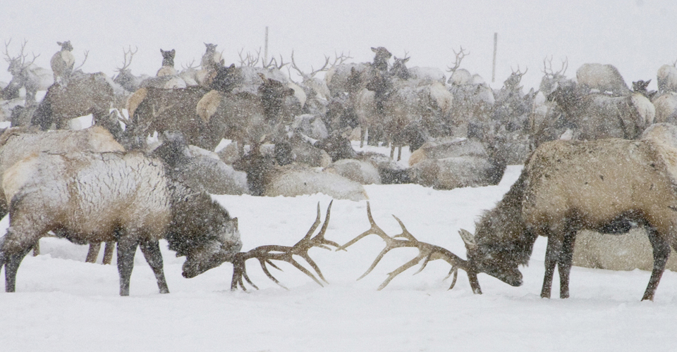 Elk, National Elk Refuge, Wyoming, USA