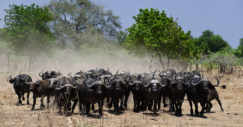 Cape buffalo, Ruckomechi Camp, Zimbabwe