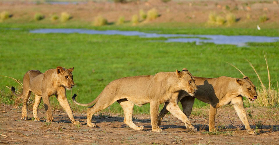 African lionesses, Busanga Plains, Kafue National Park, Zambia
