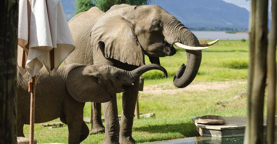 African elephant, Ruckomechi Camp, Zimbabwe