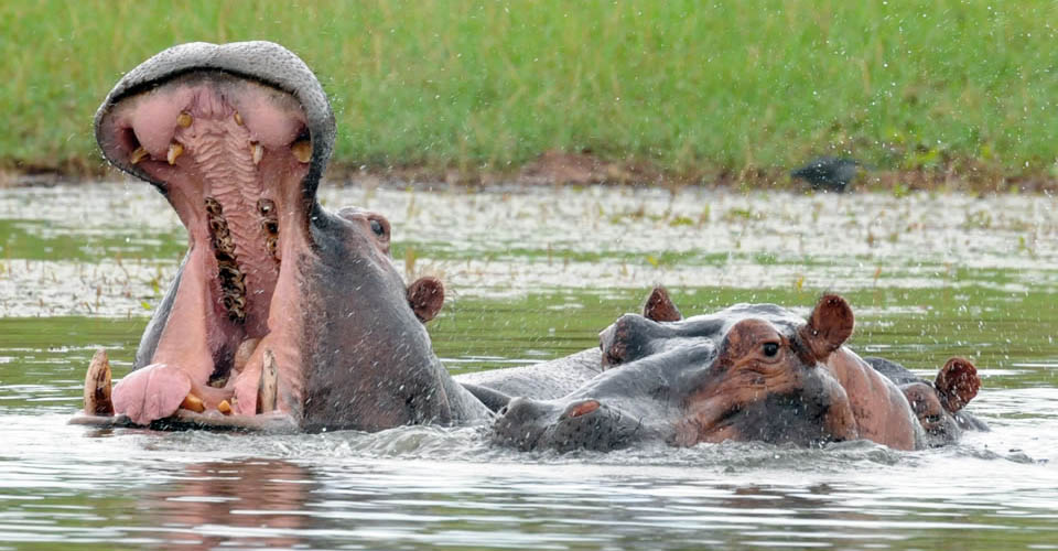 Hippopotamus, Mana Pools National Park, Zimbabwe