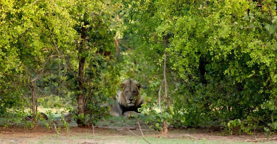 Southwest African lion, Matusadona National Park, Zimbabwe