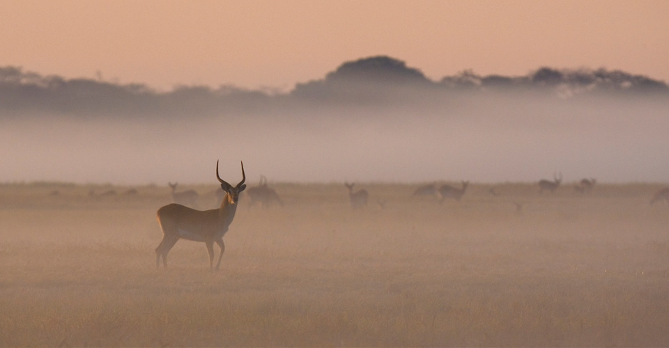 Lechwe, Busanga Plains, Kafue National Park, Zambia