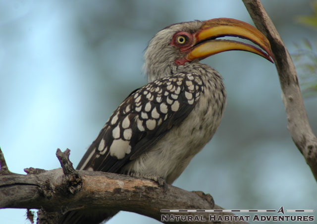 Yellow Billed Hornbill - the flying banana. Both male and female are identical, with the only marked difference being that the female has a smaller beak than the male. The male mostly ignores what the female says, so they get along.