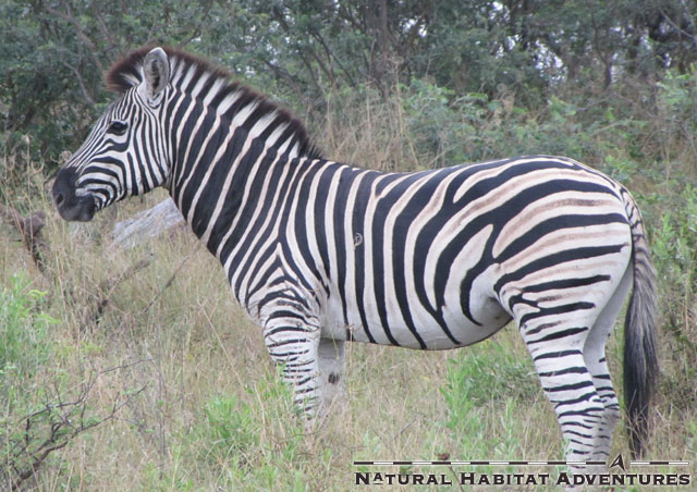 Like most members of the horse family, zebras are highly sociable. This zebra is clearly a nerd, and got kicked out of happy hour for actually using the straw to drink his gin and tonic.