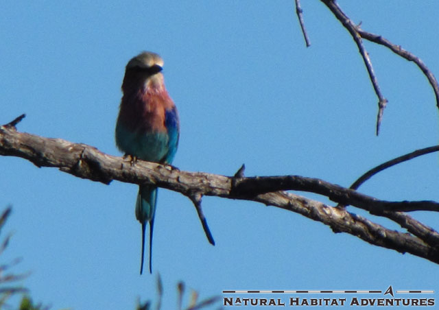 LBR dude. I bet you still call it a Lillac Breasted Roller. Thought so. You probably drink gin and tonics with a straw too.