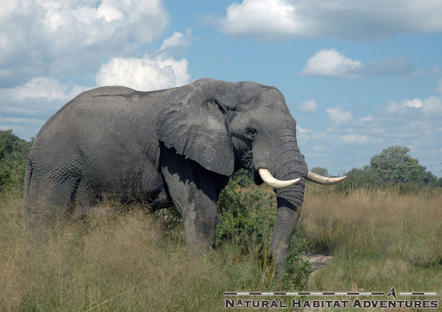 An elephant welcomes us to Vumbura Plains camp, situated in the extreme north of the Delta.