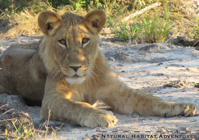 We saw a pair of lions on our first drive at Duma Tau. Mom was out hunting for her young boys.