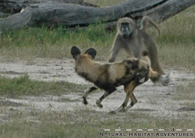 Wild Dog vs. Baboon. Discovery channel has already approached me for a pilot.