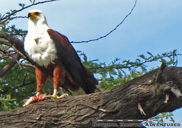 Here's a fish eagle with a successful catch. Sushi!