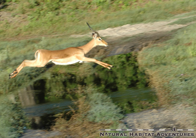 You gotta run like an antelope... out of control.