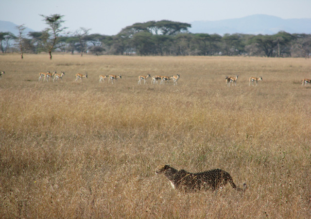 Our first Cheetah sighting AND it was stalking antelope on the Serengeti plains - does life get better than this?