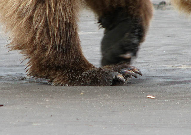 Being able to be so close to the grizzlies took a while to be comfortable with.  Those claws are pretty impressive.