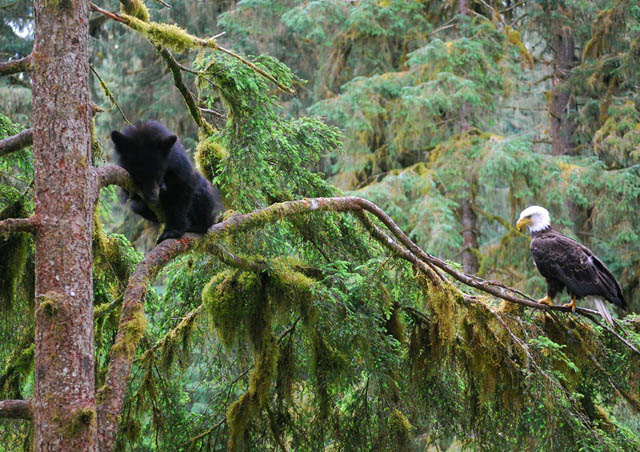 Bears and eagles in Southeast Alaska