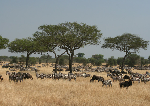We witness the astounding Great Migration. Wildebeest and zebra as far as the eye could see!