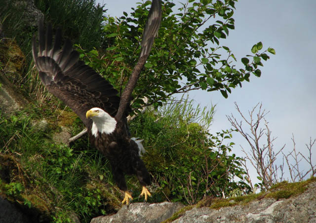 Being able to see Bald Eagles in such abundance and so close was surreal to me.