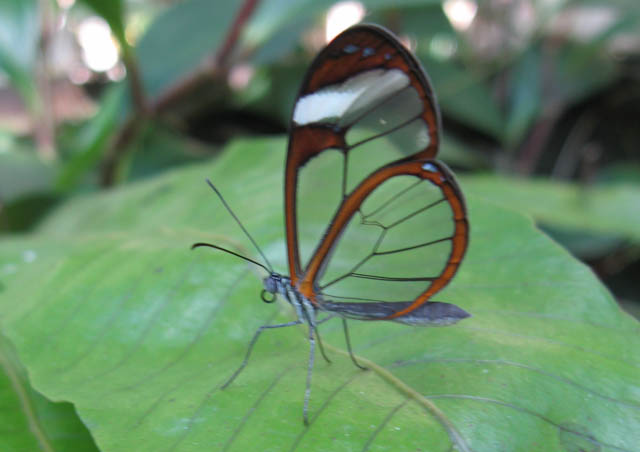The first glass butterfly I ever met. Amazing. This is the Green Hills Butterfly Farm in Belize.