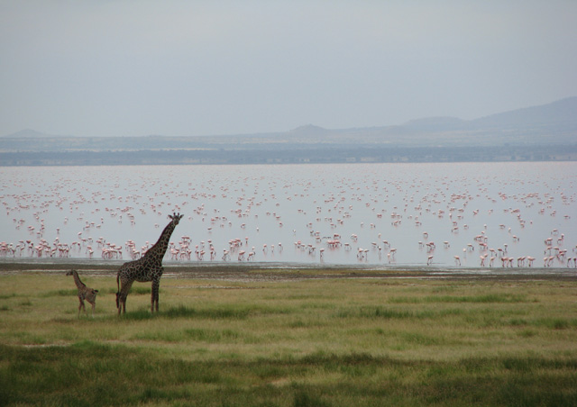 Giraffes and Flamingos at Lake Manyara. The pink flamingo carpet on Lake Manyara was great entertainment for curious giraffes and safari goers.