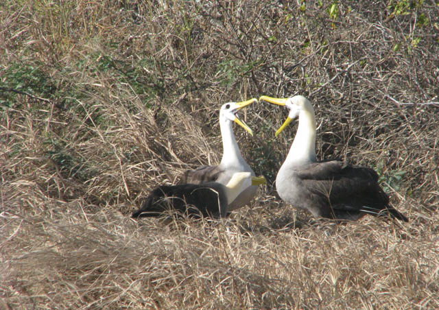 The magnificent Waved Albatross. Although it wasn't mating season, we were fortunate enough to witness the mating dance between a couple, quite entertaining with their clicking, bobbing heads, screeching, mimicking and dancing circles around each other.