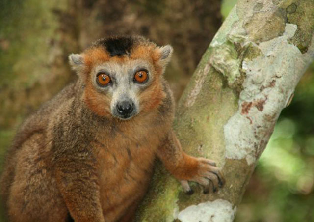 A crowned lemur happily posing for a shot.