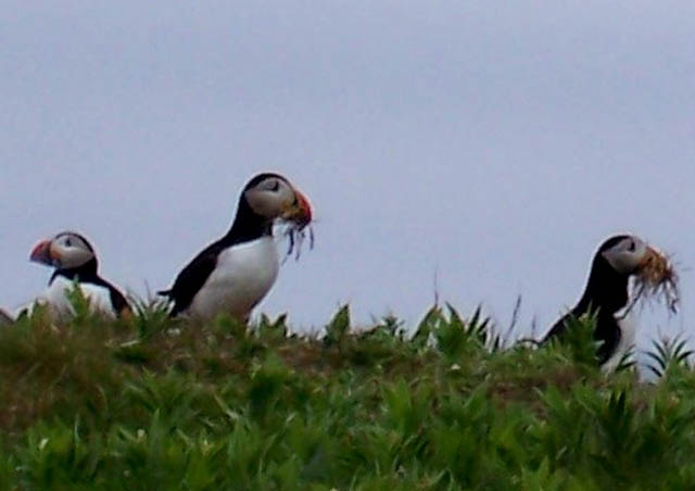Who doesn't love puffins? Taken on the cliffs of Newfoundland, I got to watch them build their nests just feet away.
