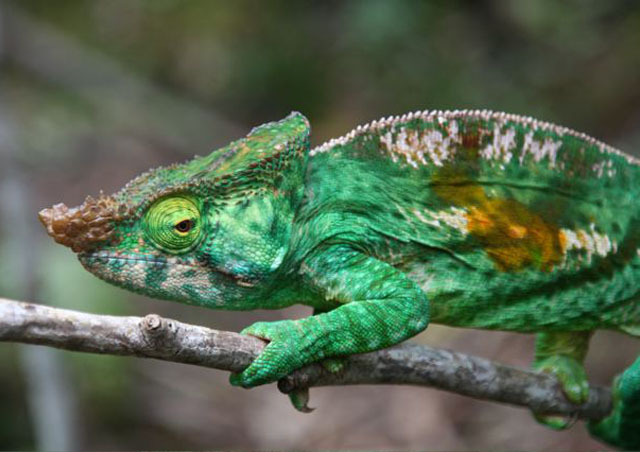 Madagascar is home to both the smallest and largest chameleons in the world. Pictured here is the Parson's chameleon.