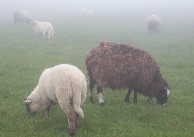 In Newfoundland these beautiful sheep appear through the mist. They graze freely so you never know where or when you'll cross paths with them.