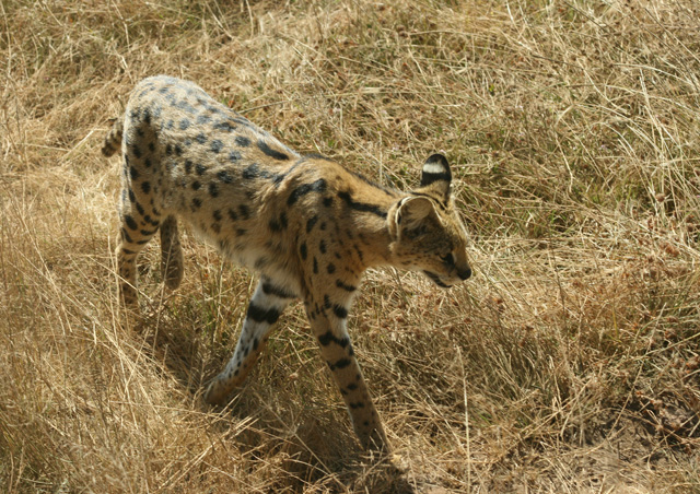 Our guide constantly amazed us. He spotted this serval cat hidden deep in the grass. Luckily for us it chose to come and check us out.