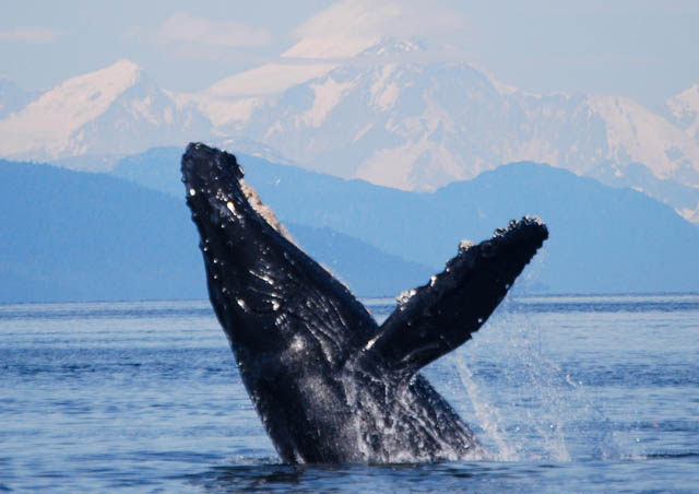 Humpback whales are a favorite of mine on our Hidden Alaska and Southeast Alaska trips. The waters are rich with these whales in the summer months. Sometimes we get to see them bubble-net feeding, cooperative feeding, one of nature's great sights!