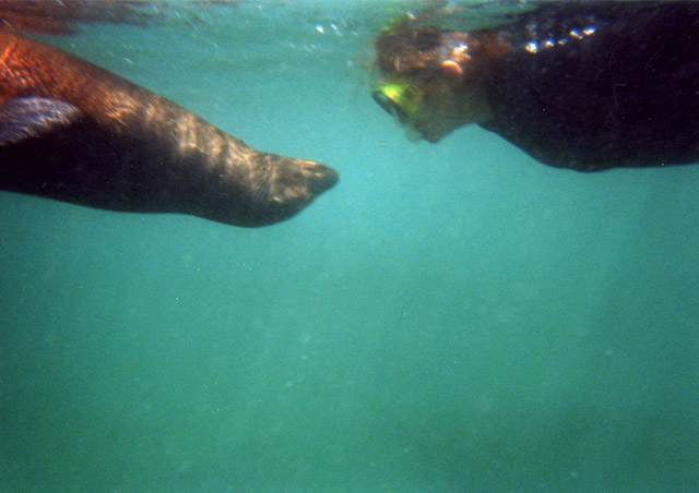 Everybody who has been to the Galapagos probably has their favorite sea lion picture.  This one is mine. We snorkeled with a very curious and playful set of young sea lions for hours one day. Blowing bubbles, turning somersaults, jumping out of the water – they imitated our every move!