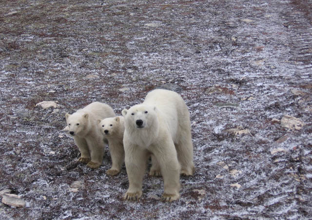 Polar Bear momma with cubs
