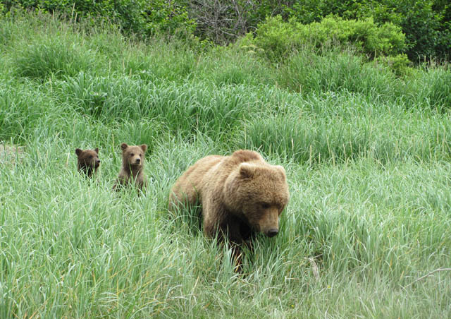 Grizzly momma with cubs