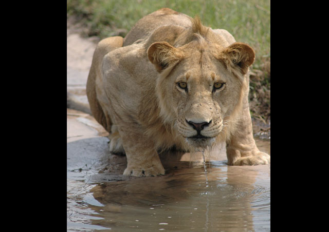 A young male lion keeping a close eye on our safari vehicle while getting a drink on the Okavango Delta in Botswana.