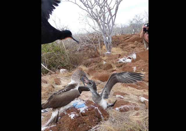A few seconds later a Frigate bird swoops out of nowhere to make a play for the Blue-footed Booby's lunch. Yum, looks like Calamari today!