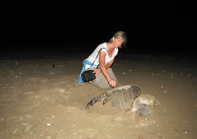 Olive ridley sea turtle laying her eggs – Huatulco, Mexico