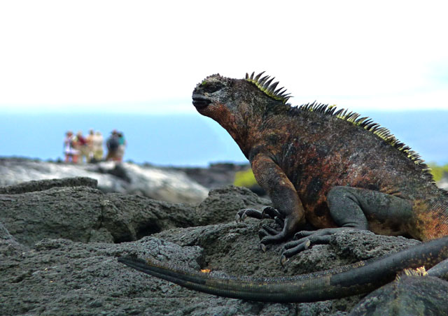 Back at ground level, the intimacy of the flora and fauna take hold.  Here a large Marine Iguana is basking in the sun as our group explores in the distance.