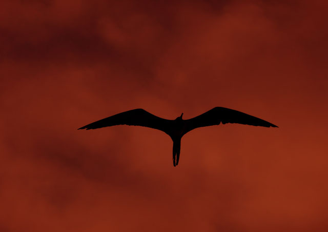 During sunset, a Frigate bird catches a ride on the boat's updraft as we journey on to the next landing.